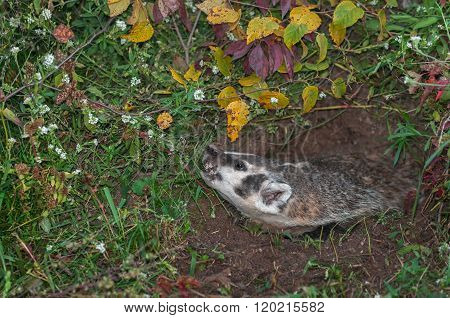 North American Badger (taxidea Taxus) Snarls Up To Left