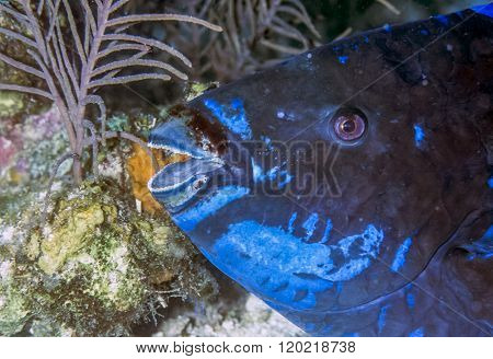 midnight parrotfish Scarus coelestinu is a species of parrotfish that inhabits coral reefs