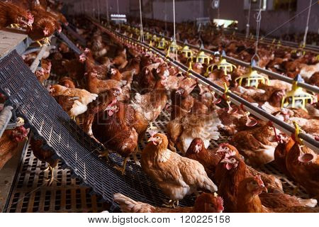 Farm Chicken In A Barn, Drinking, Eating And Laying Eggs