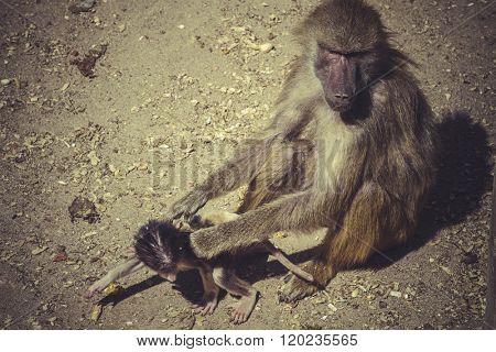Baboon (Papio hamadryas ursinus)