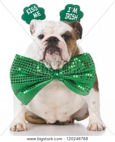english bulldog wearing kiss me I'm Irish headband
