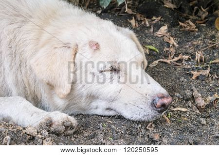 Closeup Sleep Dirty White Dog With Lesion At Head