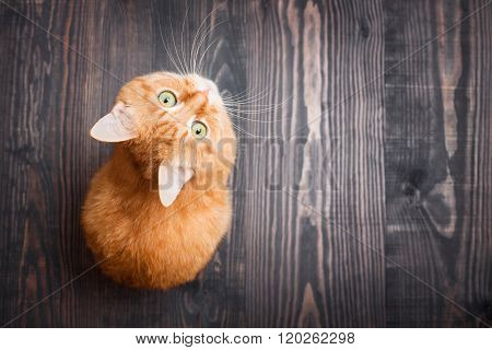 Cat Looking Up Sitting On The Wooden Background