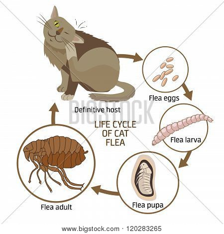 Life Cycle Of Cat Flea Vector Illustration. The Spread Of Infection Diseases. Fleas Animals: Life Cycle Stages Of Development. Veterinary Medicine: Sick Cat. Sick Cat Symptoms. Sick Cat Diagnosis.