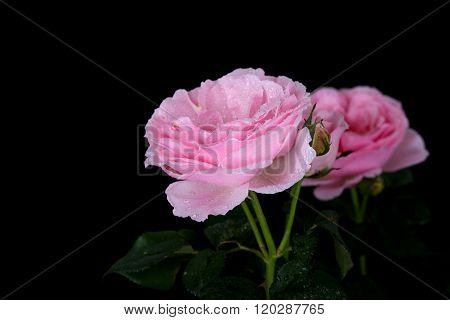 Beautiful Pink Rose With Water Drop On Black