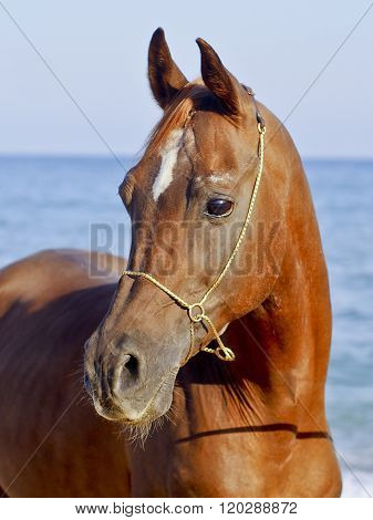 red horse with a small white spot on his head standing against the sky and sea