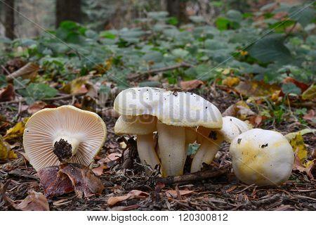 Hygrophorus Chrysodon Mushrooms