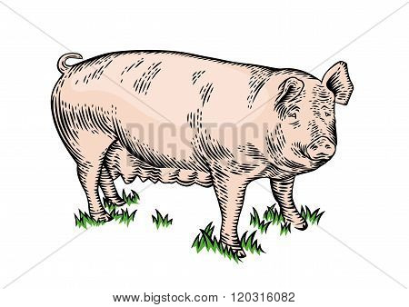Pig On The Grass