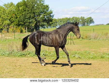 dark brown horse walks in a field on the sky background