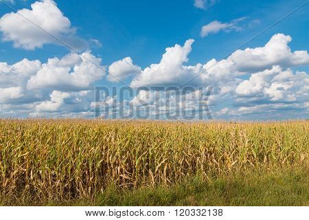 Yellow Corn Field And Blue Sky At Late Summer.