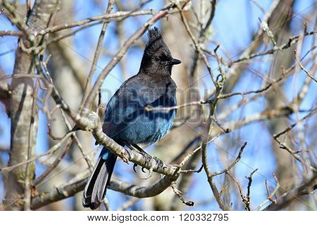Steller's Jay Hiding in a Bare Tree, Canada