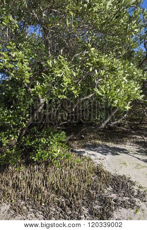 Black Mangroves With Pneumatophores Rising Above Mud