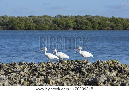 White Ibis Sea Birds In Florida