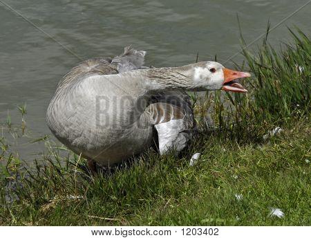 Open Beak Goose