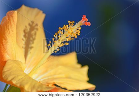 Seasonal pollen on a hibiscus
