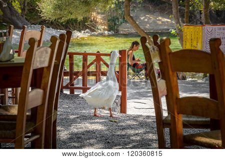 White goose walks in Greek tavern in Preveli