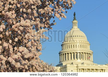 Washington DC in Spring time - Capitol Building with cherry blossoms