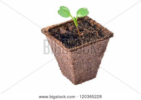 Seedling in peat pot