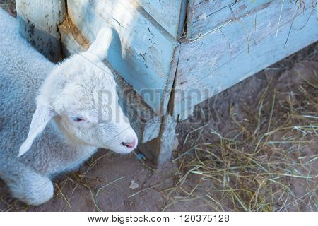 Lamb Lookin On The Right Side