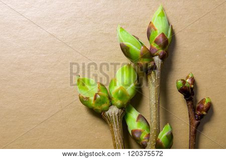 Buds Swell Background On Beige. Three Twigs Close-up