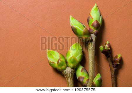 Buds Swell Background On Terra-cotta. Three Twigs (bright Tone)