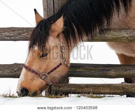 Horse on a snow graze grass