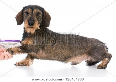 miniature wirehaired dachshund being groomed on white background