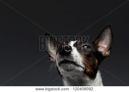 Closeup Portrait Of Jack Russell Terrier Dog Looking Up Squints