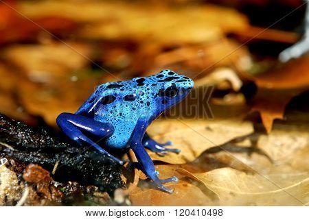 Colorful blue frog Dendrobates tinctorius in natural environment
