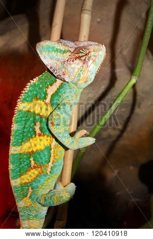 Brightly coloured green chameleon in a terrarium