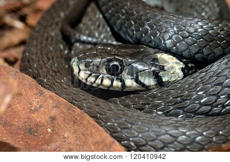 Common grass snake Natrix natrix in its natural environment - tree bark and old leaves