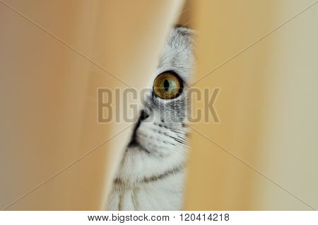 Cat Hiding Behind A White Curtain In The Interior