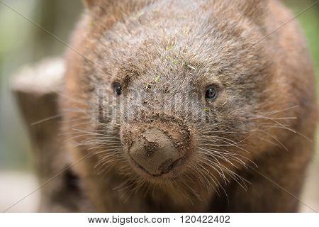 Australian common wombat