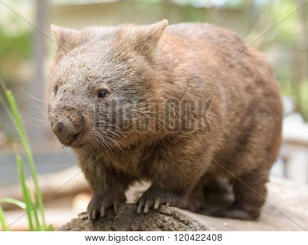 Australian common wombat
