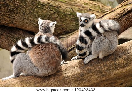 Two ring-tailed lemurs sit on a tree trunk