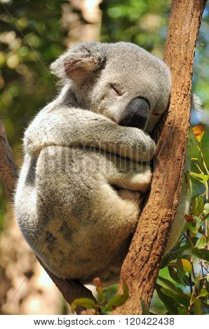 Closeup of sleeping koala