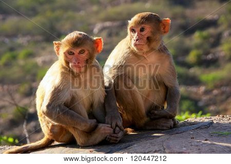Rhesus Macaques Sitting Near Galta Temple In Jaipur, Rajasthan, India.