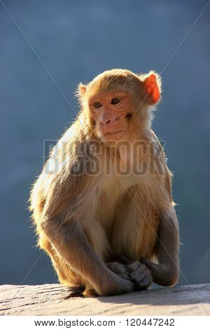 Rhesus Macaque Sitting Near Galta Temple In Jaipur, Rajasthan, India.
