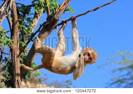 Rhesus Macaque (macaca Mulatta) Climbing Tree Near Galta Temple In Jaipur, Rajasthan, India.
