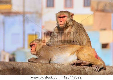 Rhesus Macaques Laying On A Wall In Jaipur, Rajasthan, India