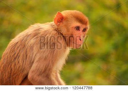 Rhesus Macaque Sitting Near Galta Temple In Jaipur, Rajasthan, India