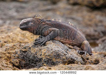 Marine Iguana On Chinese Hat Island, Galapagos National Park, Ecuador.