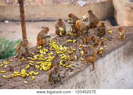Group Of Rhesus Macaques Eating Bananas Near Galta Temple In Jaipur, Rajasthan, India