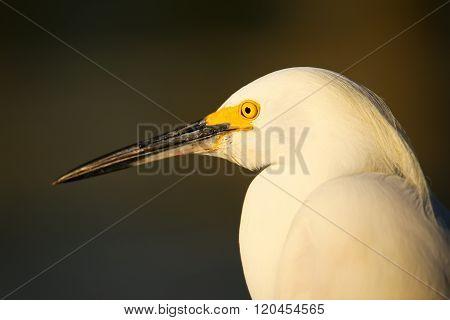Portrait Of Snowy Egret