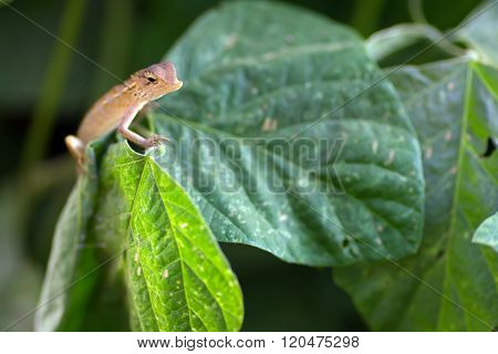 Changeable lizard on leaf, shallow depth of field, focus on the head