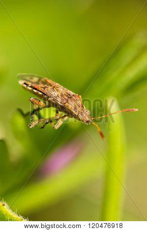Hemipteran bug is staying on the leaf