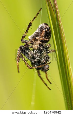 Hairy spider on a green blade of grass
