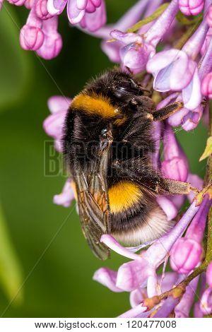 Macro shot of a bumblebee collecting pollen