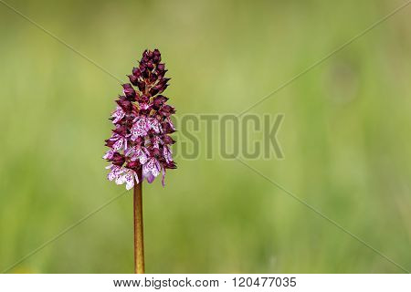 Lady Orchid (Orchis purpurea) in spring, close up