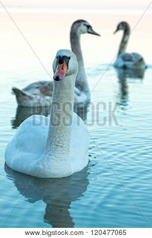 Close up of a swans at evening light